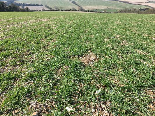 Barley in south England