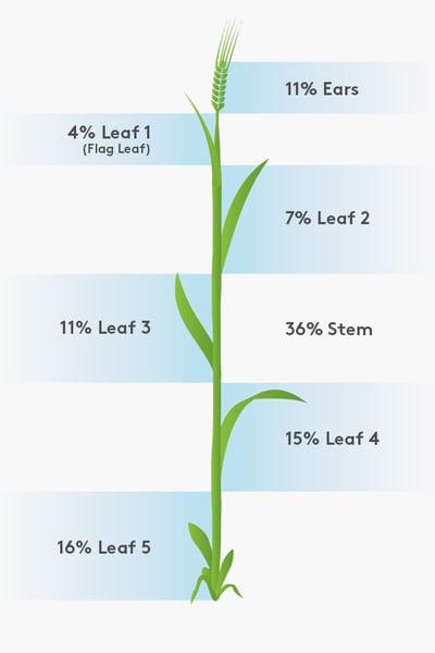Barley Leaf Diagram_900x600 (1)