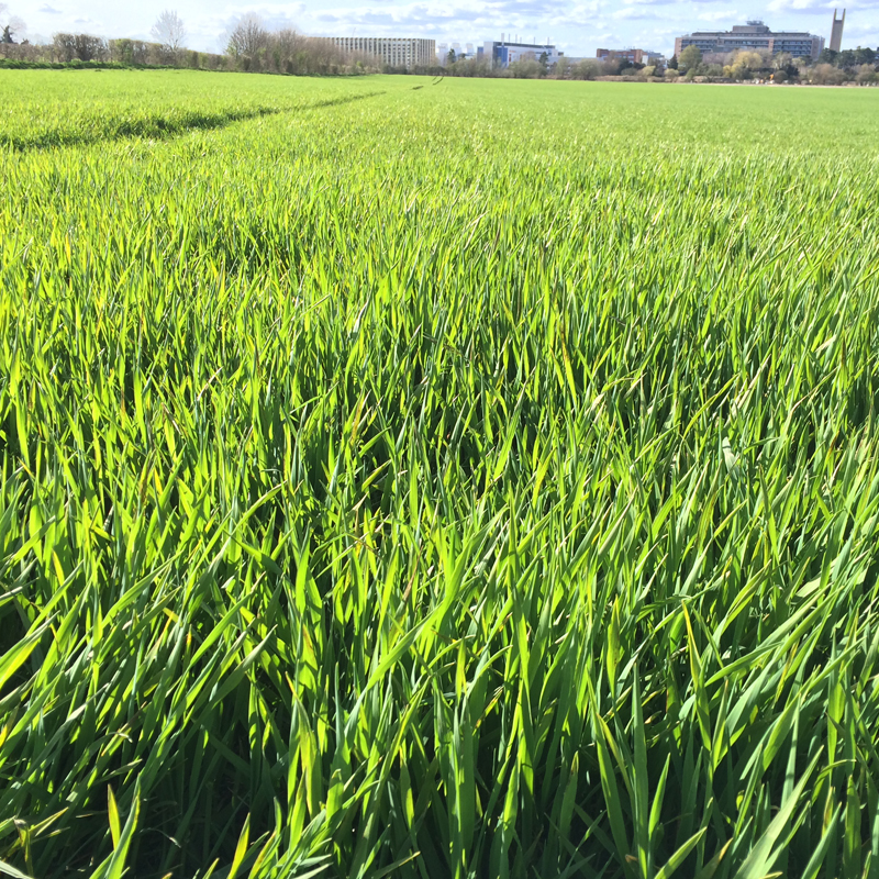 t1.5_Winter Wheat Blog Banner_800x800