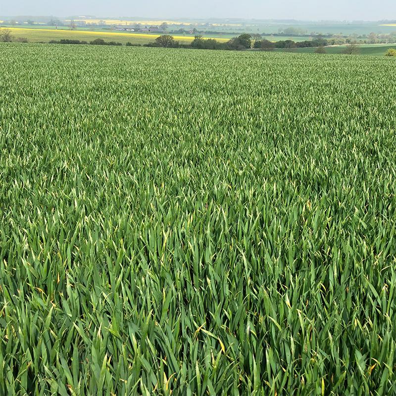 Wheat approaching T2