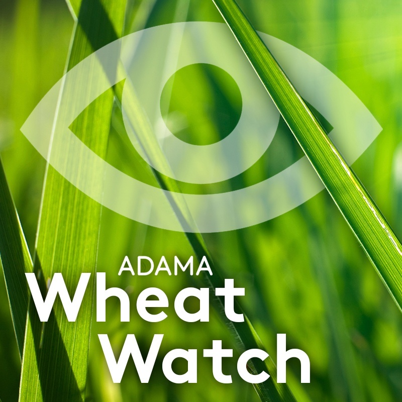 0335_ADAMA_Wheat Watch_800x800.jpg